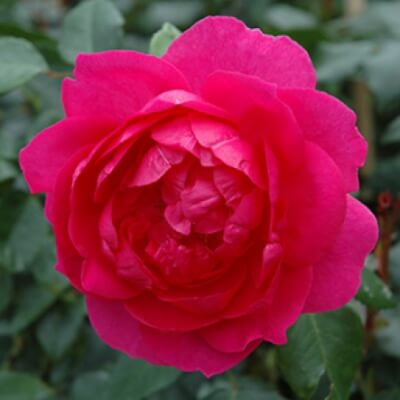 Rose 'Parade' - Fragrant Climber
