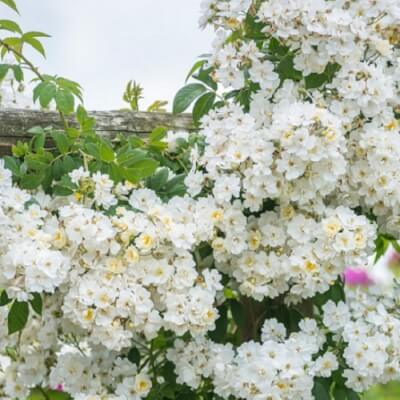 Rose 'Rambling Rector' Fragrant Climber