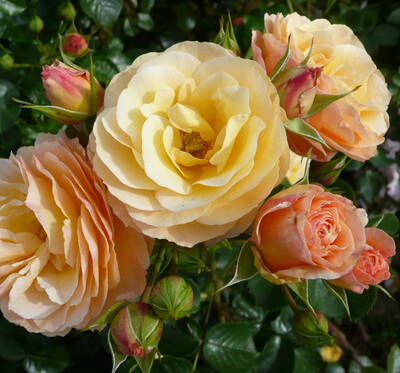 Rose 'Rebecca Mary' - Fragrant Bush Rose