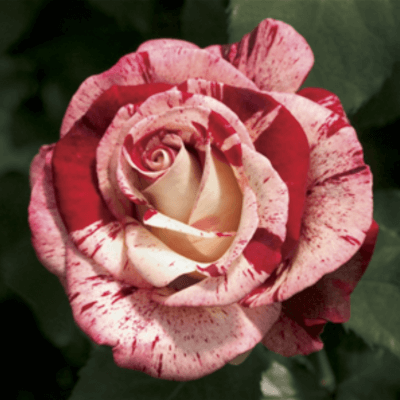 Rose 'Rock And Roll'