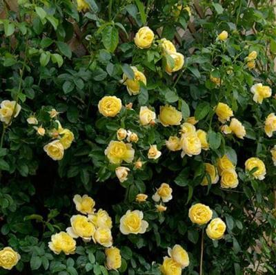 Rose 'Soleil Vertical' - Fragrant Climber