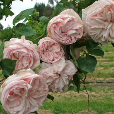 Rose 'Souvenir De La Malmaison' - Fragrant Old Climber
