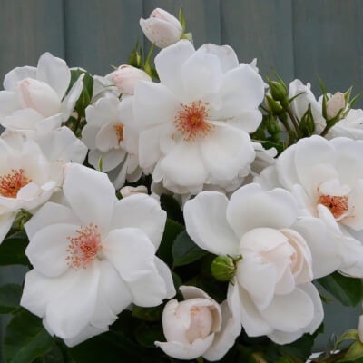 Rose 'Starlight Symphony' - Fragrant Climber