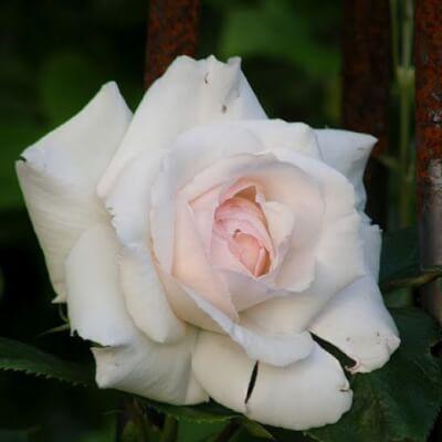 Rose 'Swan Lake' - Climbing Rose