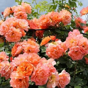 Rose 'Westerland' - Fragrant Shrub Rose