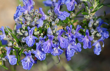 Rosemary 'Fota Blue'