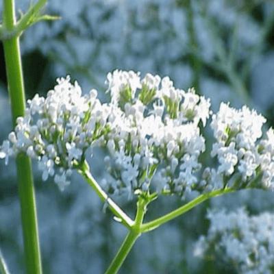 Common Valerian - Valeriana Officinalis