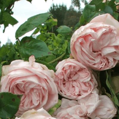 Rose 'Souvenir De La Malmaison'