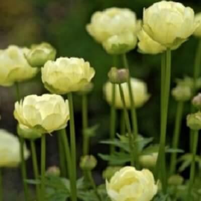 Trollius 'New Moon' -  Globeflower