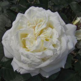 Rose 'White Parfum De Provence' - Fragrant Bush Rose