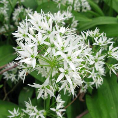 Wild Garlic - Allium Ursinum  'Ramsons'