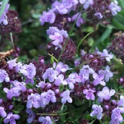 Wild Thyme Thymus Praecox