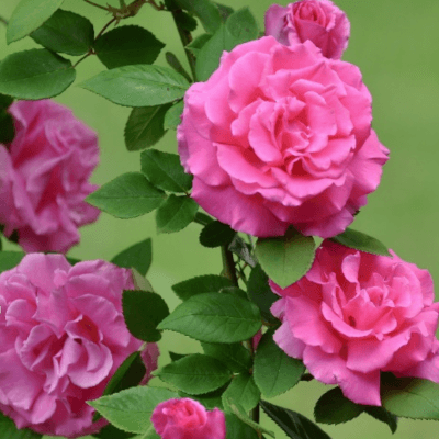 Rose Zephirine Drouhin