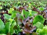 Mixed Lettuce Plugs