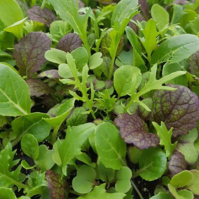 Oriental Salad Plugs