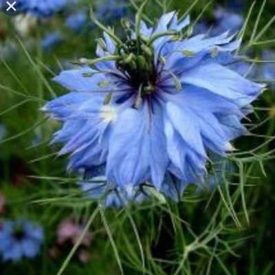 Nigella 'Miss Jekyl Light Blue'