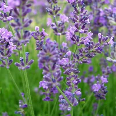 Lavender 'Munsted'