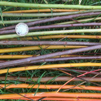 Freshly Cut Willow