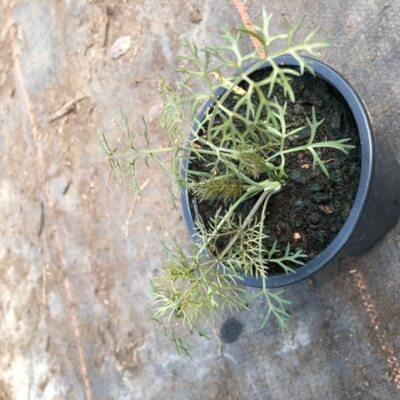Pot Of Bronze Fennel