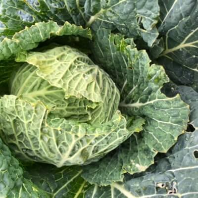 Tundra Cabbage