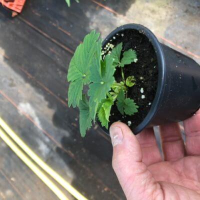 Strawberry Plant Fresca