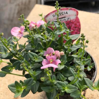 Pink Diasia
