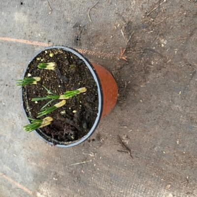 Orange Crocus Pot
