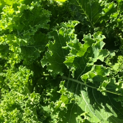 Bunch Of Green Kale