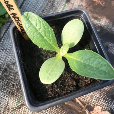 Globe Artichoke Plant