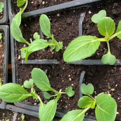 Pak Choi - Pack Of 6 Plants