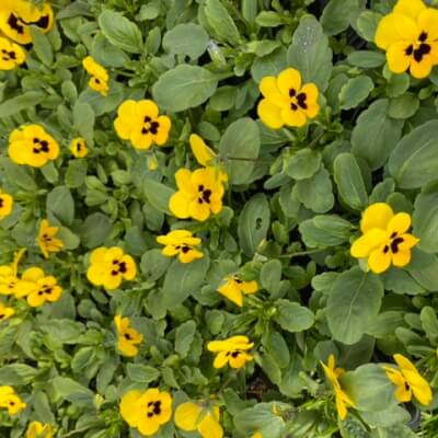 Viola Pack Of 6 Plants