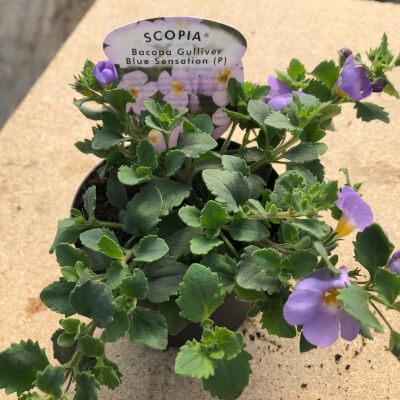 Blue Scopia