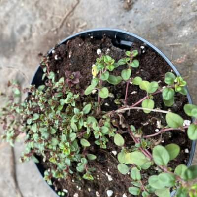 Large Pot Of Creeping Thyme