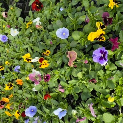 Pansy Pack Of 6 Mixed Colours