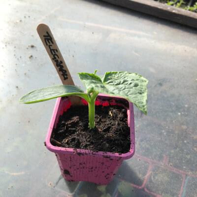 "Cucumber Plant ""Telegraph"""
