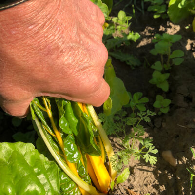 Yellow Leaf Chard