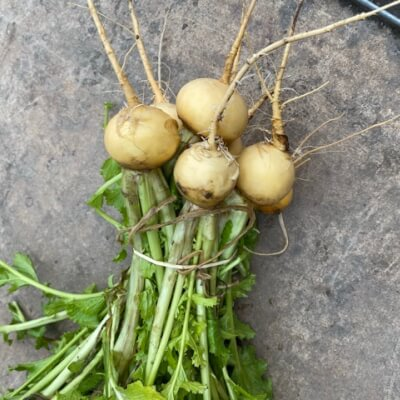 Golden Turnip Bunch