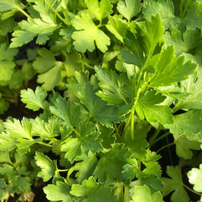 Fresh Cut Flat Leaf Parsley