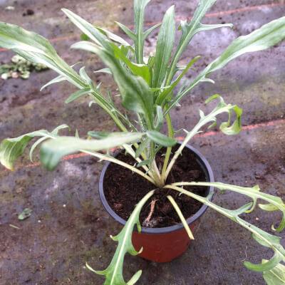 Centaurea Cyrus  Blue Boy (Cornflower)