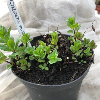 Pot Of Garden Mint