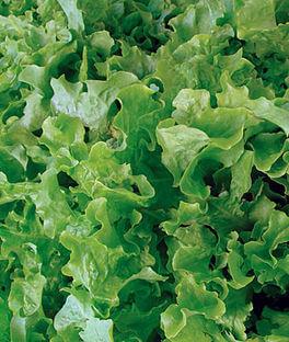 Lettuce Green Batavia