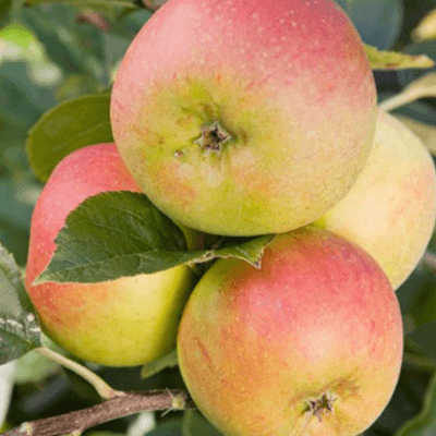 Apples- Falstaff
