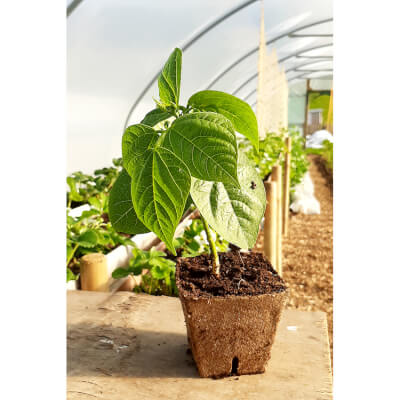 Organic French Beans Dwarf- Potted Plant