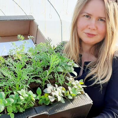 Organic Flowers Seedlings Chrysanthemus - Potted Plant