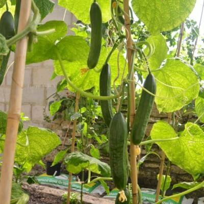 Organic Cucumber Passandra- Potted Plant