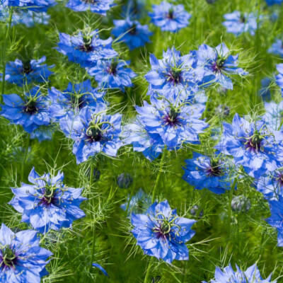 Organic Flowers Seedlings Love In A Mist - Potted Plant
