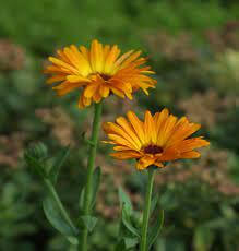 Organic Flowers Seedlings Pot Marigold - Potted Plant