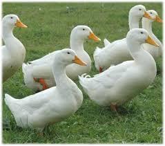 Thornhill Duck