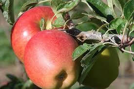 Braeburn Apples From France
