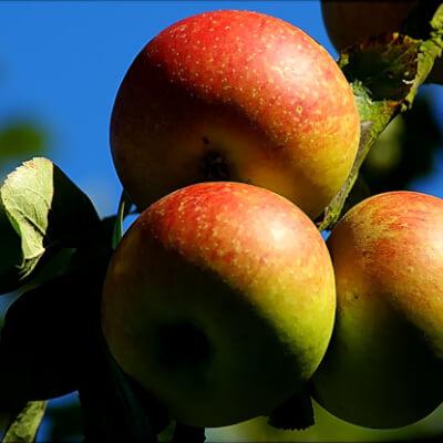English Apples Cox